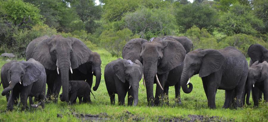 Kruger Elephants 3