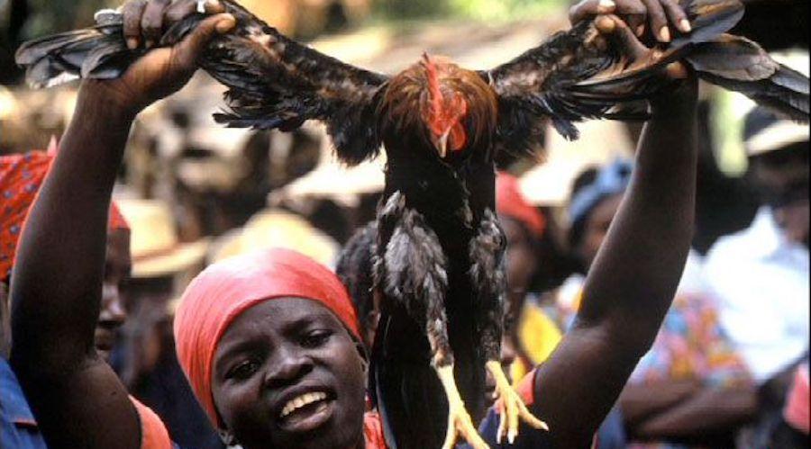 voodoo chicken